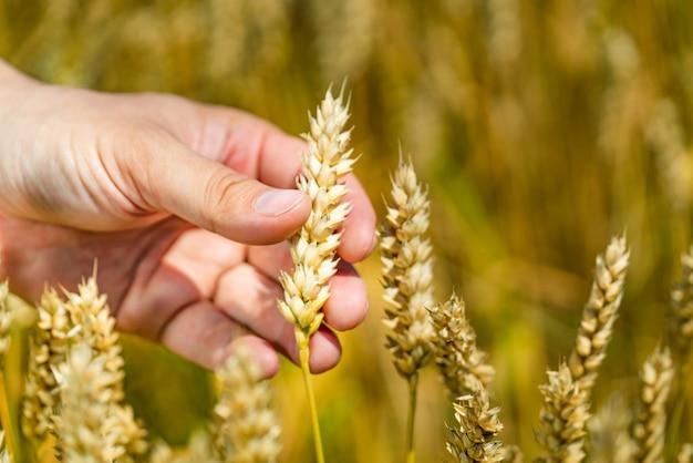 小麦の耳のクローズアップに触れる男の手。
