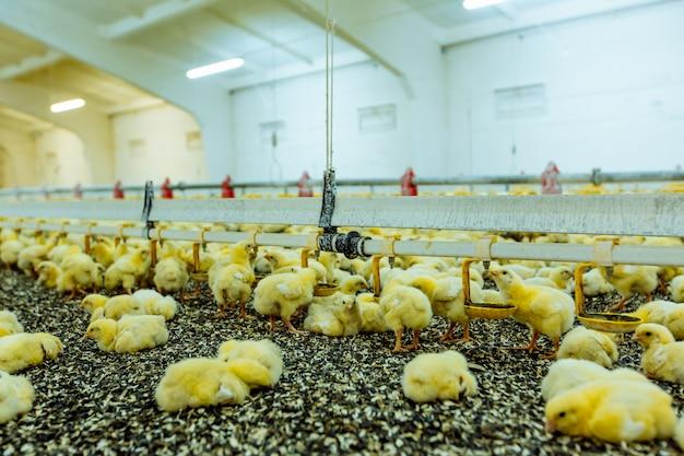 屋内の養鶏場、鶏の餌付け。若い鶏のグループ