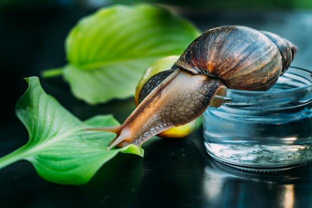 大きな茶色のカタツムリが水の瓶から部屋のテーブルの上の緑の葉まで這います。閉じる