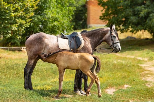 母馬と立っているかわいい子馬と外で牛乳を食べています。子馬は母親と一緒にパドックに立っています。
