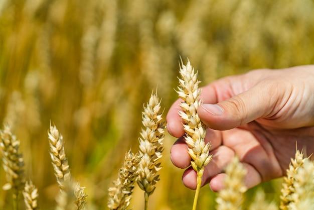 Рука человека касается стебля пшеницы в поле летом.