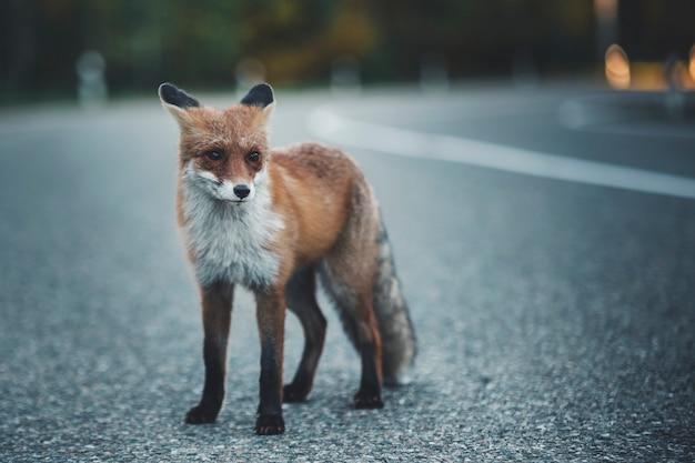Дикая лиса на дороге