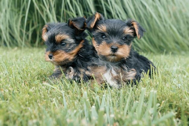 Два маленьких щенка йоркширского терьера позирует на природе