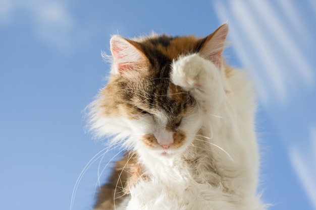 窓辺に横たわっている足で突き出てトリコロール猫の舌