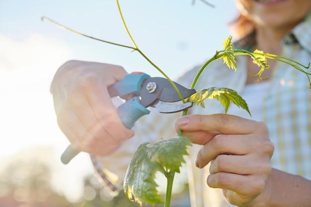 Весенние летние садовые работы в винограднике.
