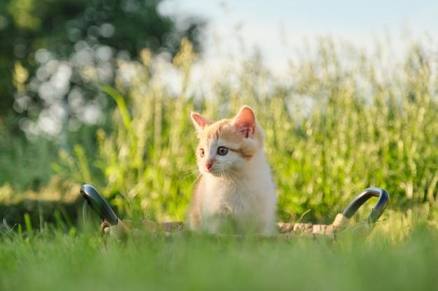 日当たりの良い緑の芝生の上のバスケットでかわいい小さな赤いふわふわ子猫