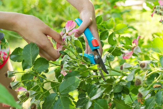 Женские руки с секатором срезают увядшие цветы на кусте роз