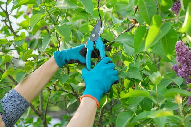 ライラックブッシュにしおれた花を剪定剪定はさみで梨花の手