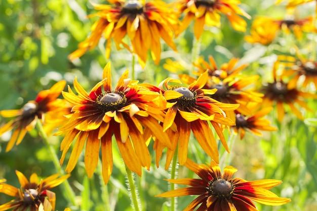 Лето цветет желтая рудбекия черноглазая сьюзен