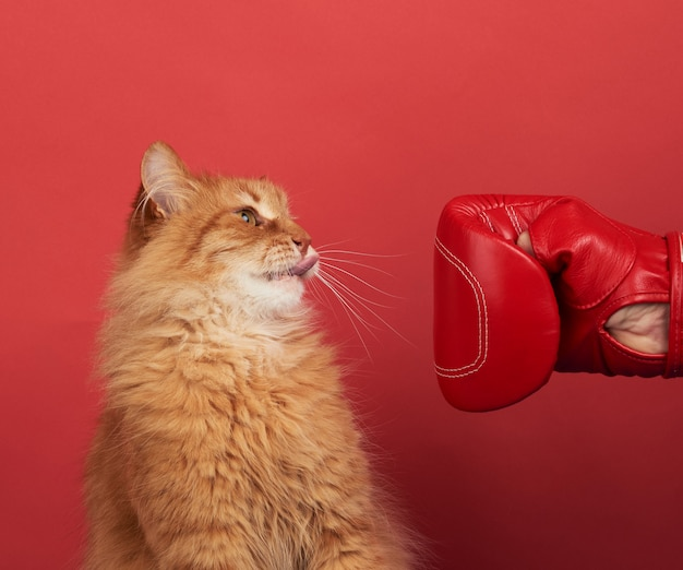 Взрослый рыжий кот борется с красной боксерской перчаткой. веселая и игривая