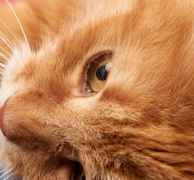 Открытый желтый глаз рыжего кота