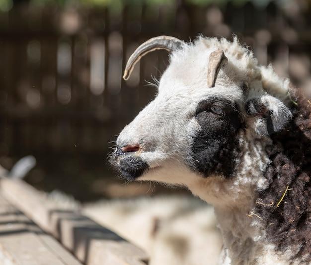 自然に角を持つ雄羊の肖像画