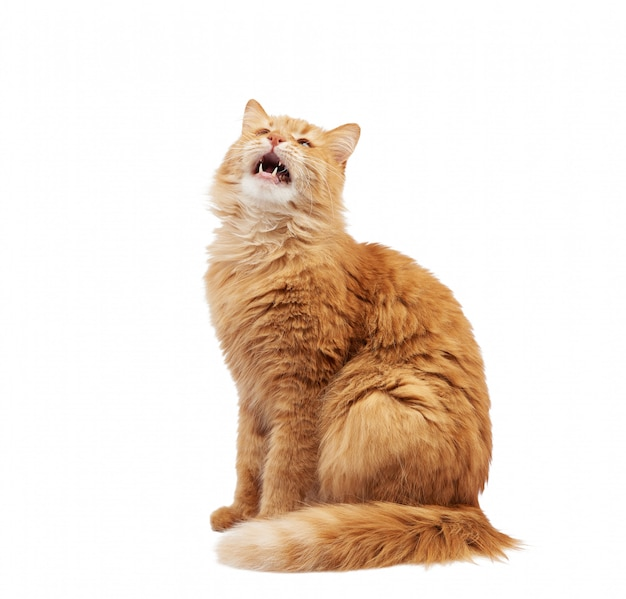 Взрослый рыжий кот сидит на белом