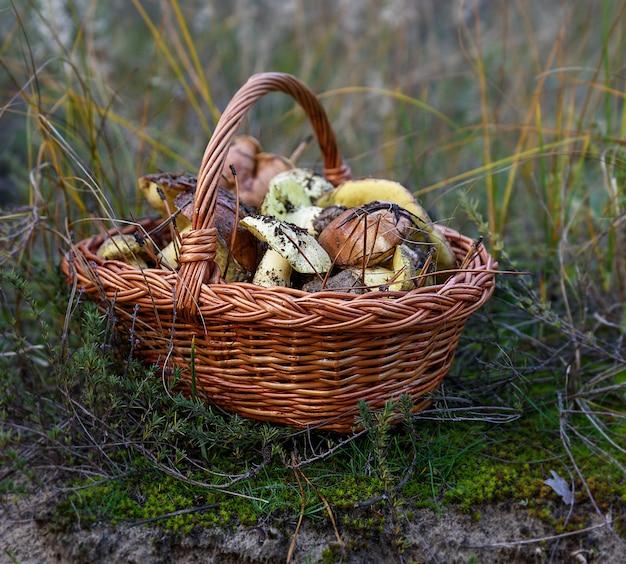 Съедобные лесные грибы в коричневой плетеной корзине
