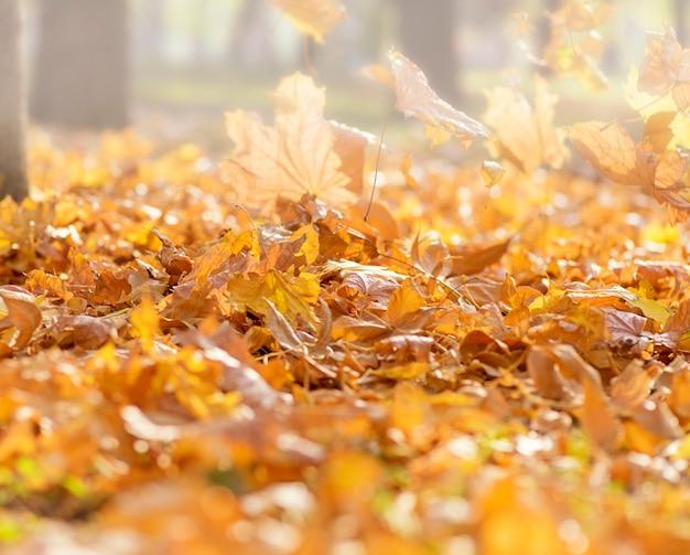 乾燥した黄色落ちたカエデの葉と公園での朝