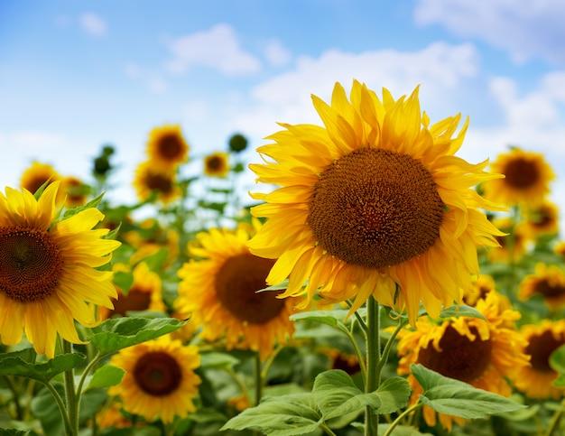 開花ひまわり畑