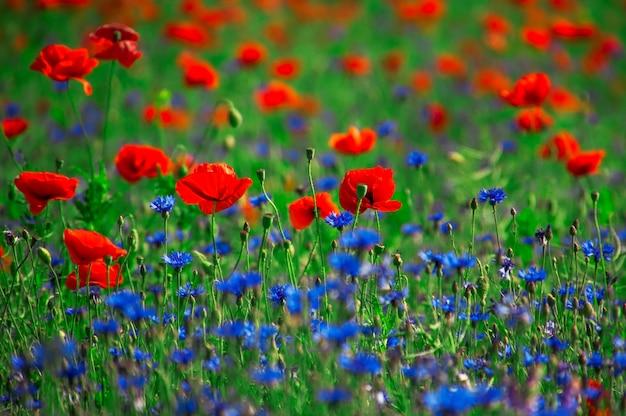赤いケシと青いヤグルマギクのフィールド