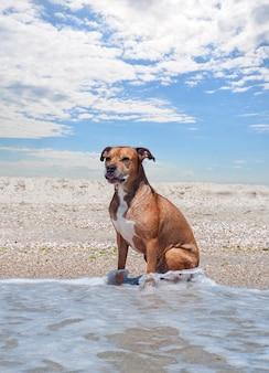 アメリカのピット・ブルテリアはビーチに座っています