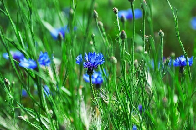 青いヤグルマギクと緑の牧草地