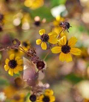 Цветущие желтые цветы рудбекия трилоба, вид сверху