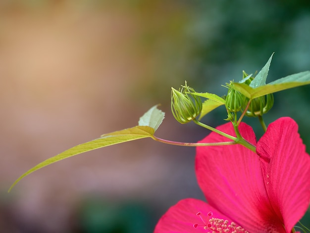 庭で成長している赤いハイビスカスの緑の芽吹き