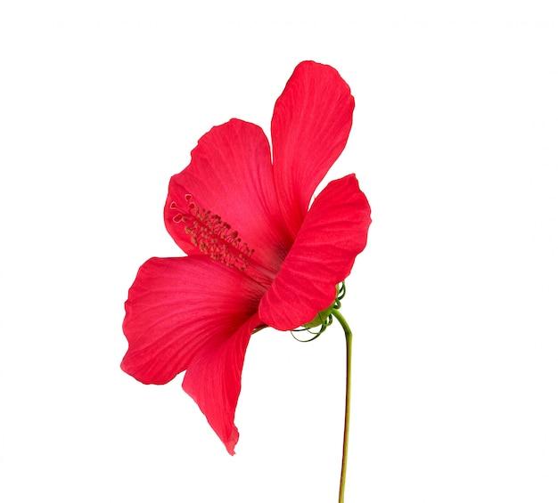 赤い咲くハイビスカスサイドビュー、分離された花
