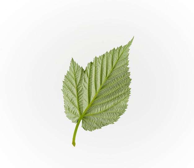 白地に緑のラズベリーの葉の逆構造側