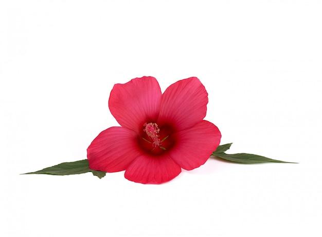 白い背景に分離された芽赤開花ハイビスカス