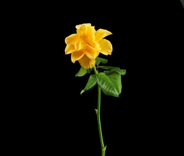 Бутон цветущей желтой розы с зелеными листьями