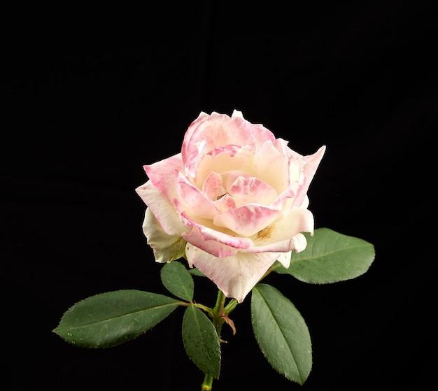 Бутон цветущей белой розовой розы с зелеными листьями