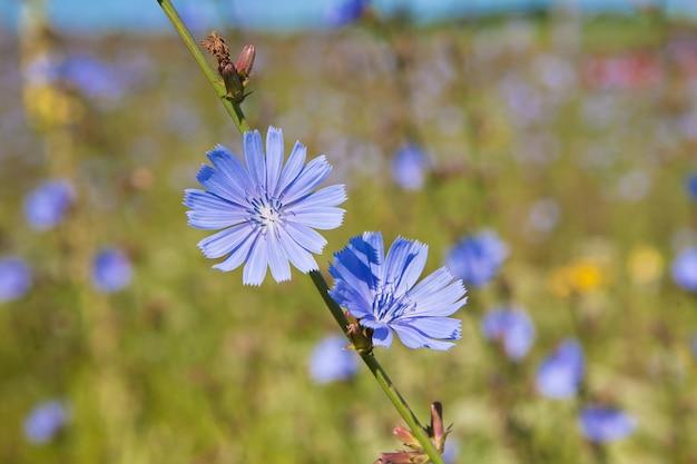 夏の畑で青いチコリの花ハーブ