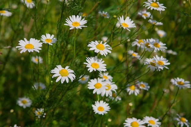 白いカモミールの花と美しいフィールド