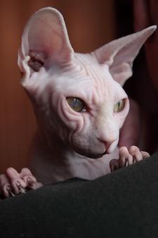 白いスフィンクス猫の肖像画のクローズアップ