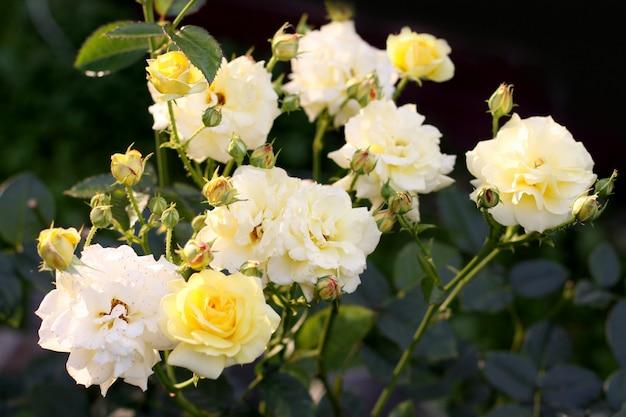 黄色いバラの茂み。
