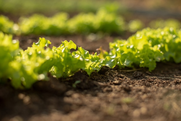 新鮮な緑のレタスが庭で育ちます。