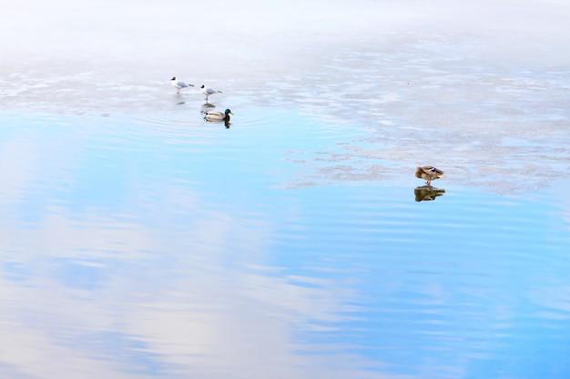氷の上と水中のアヒル