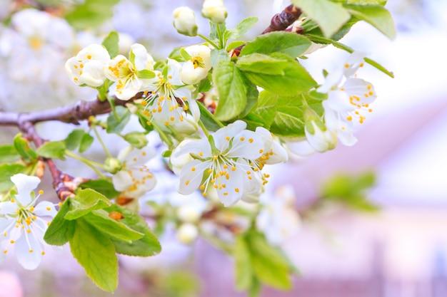 柔らかい花のりんごの木