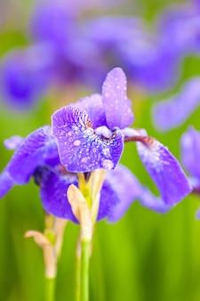 紫色のアイリス、夏の草原の緑豊かな庭園