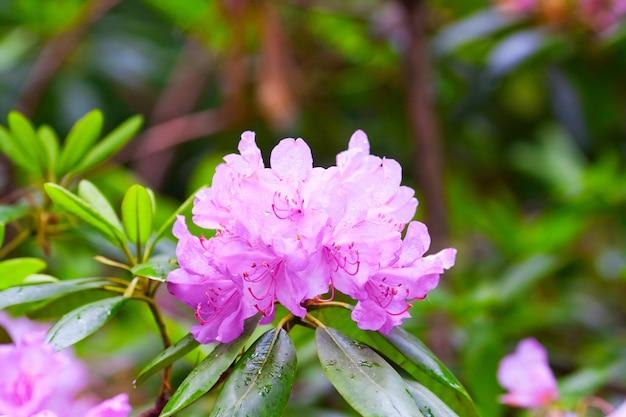 Пышная ветвь цветущих розовых рододендронов