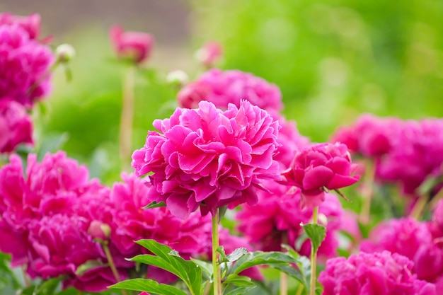 Пышная клумба с фиолетовыми цветами пиона