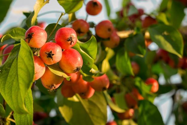 Красные спелые маленькие маленькие сычужные яблоки на яблоне ветви свечение на солнце. сбор осени яблок на предпосылке зеленой листвы и голубого неба.