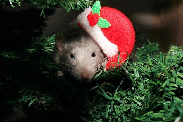 Крыса в рождественской шапке, рождественская мышка. символ нового года в китайском календаре. новый год и рождество концепция.