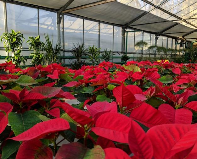 温室の赤いポインセチア