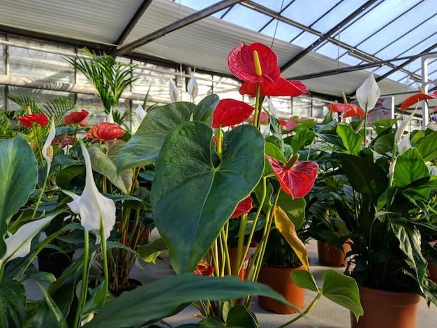 販売のための温室のカラスの花