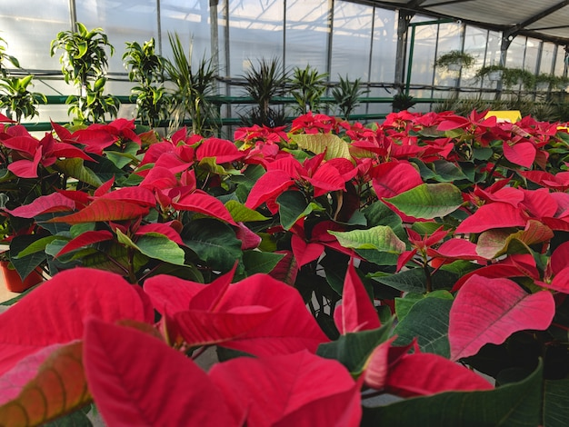大きな温室で成長するポインセチア