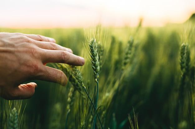 Рука, которая касается зеленых колосьев пшеницы на закате