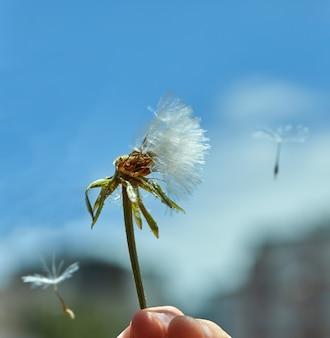 青い空を背景に自然に咲くタンポポ。