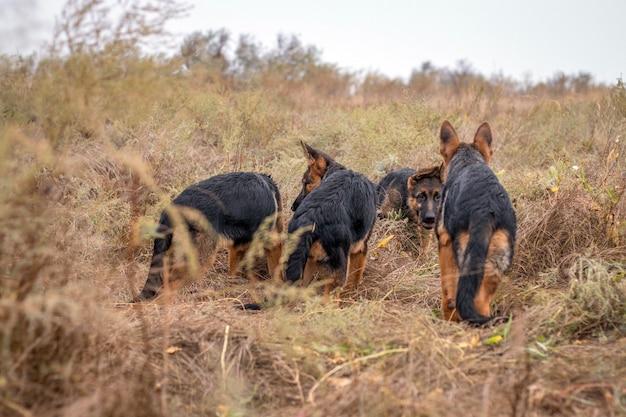 屋外で遊ぶかわいい子犬。秋のフィールドでジャーマン・シェパード犬。家畜。ホームペットと家族の保護者。野生の自然。