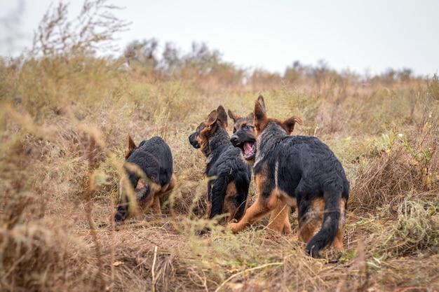 野外で遊ぶ子犬。秋のフィールドでジャーマン・シェパード犬。家畜。ホームペットと家族の保護者。野生の自然。