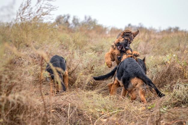 Щенки играют на улице. немецкие овчарки в осеннем поле. домашнее животное. домашний питомец и опекун семьи. дикая природа.